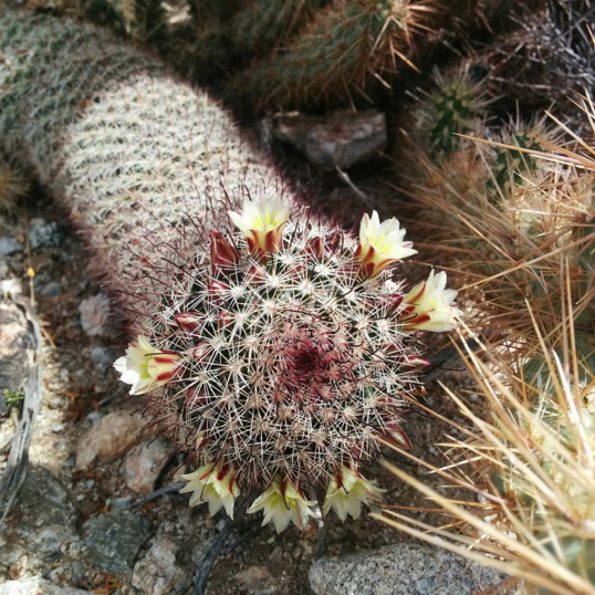 Anza-Borrego wildflower and cactus blooms