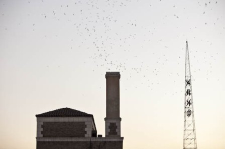 Vaux's Swifts downtown. 2010. Photo: Shannon Cottrell
