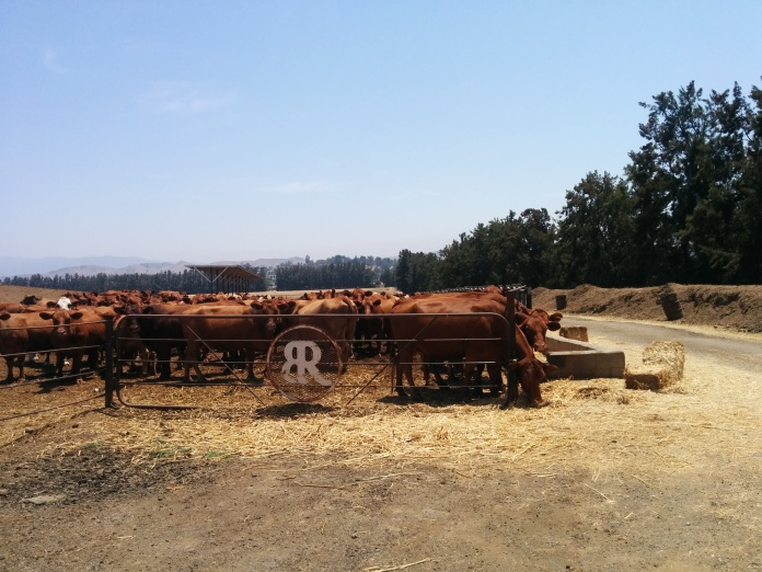 penned-cattle-with-br-brand