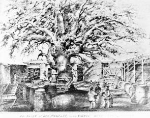 Aliso Tree on Vignes Vineyard